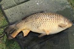 Common Carp Borwick