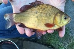 Lovely Crucian Carp