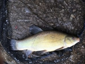 Tench at Whitmore Fisheries