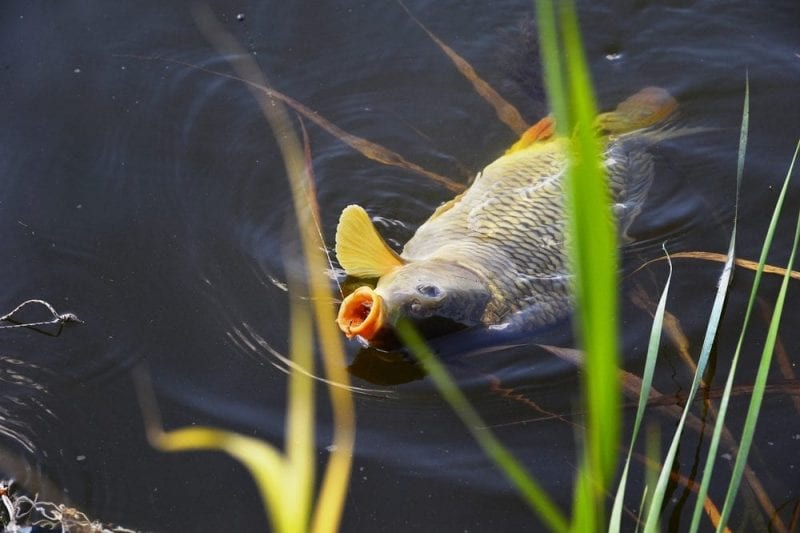 Specimen Carp Fishing in Lancashire